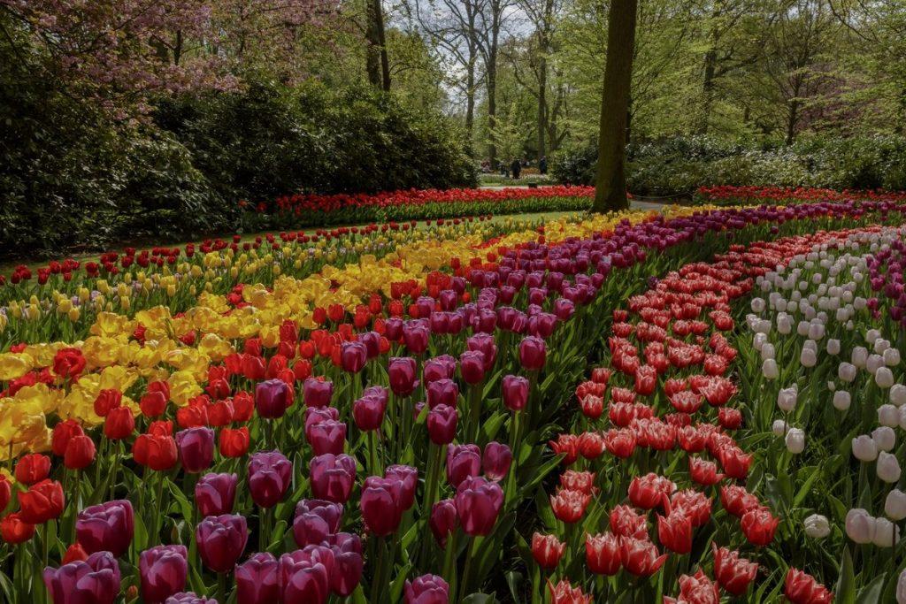 Keukenhof tulips (before the overreaction)