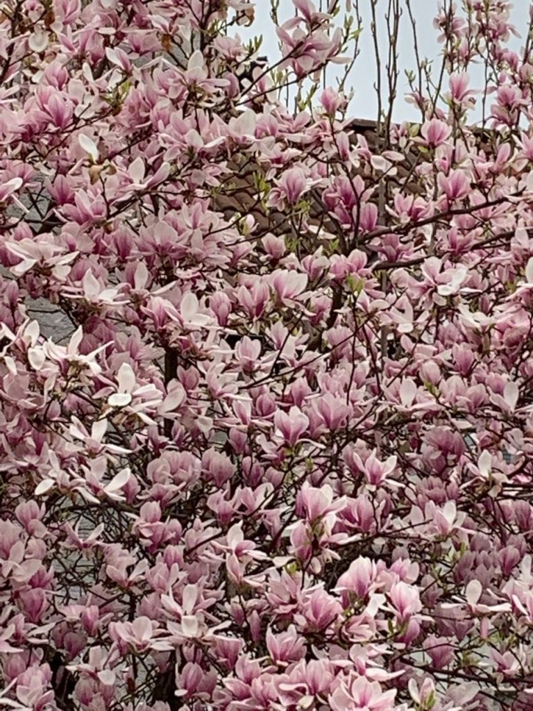 Spring has sprung: Magnolia tree in full bloom in our street; Why I love magnolia and why it makes me sentimental