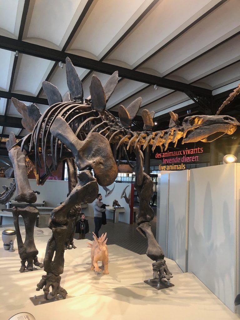 Stegosaurus fossils
