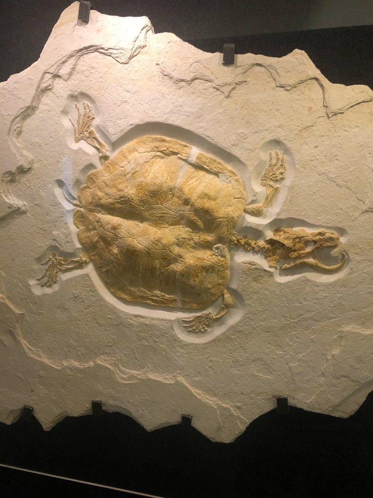 Killer Turtle fossil, Dinosaur Hall
