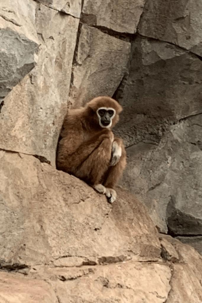 White-hand gibbon, Cologne Zoo, 09/2019