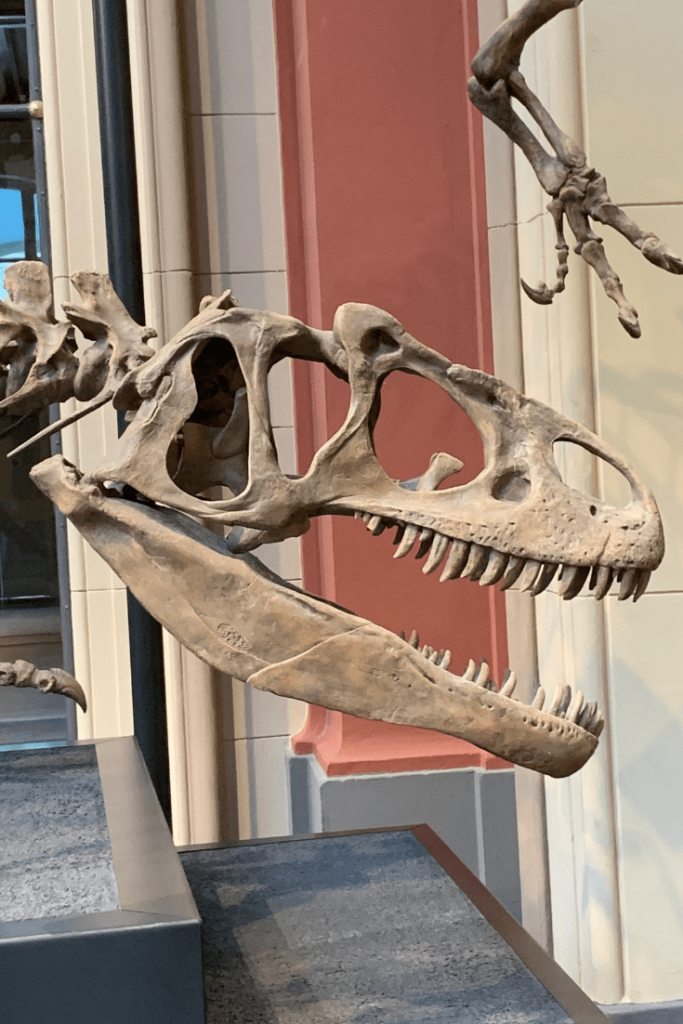 Allosaurus and theropods, Museum für Naturkunde, Berlin