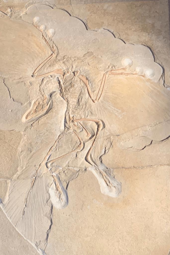 Archaeopteryx lithographica, Museum für Naturkunde, Berlin