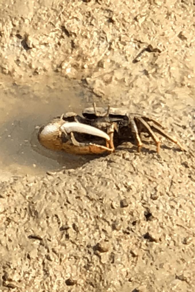 Mud crab during a visit to Royal Burgers Zoo