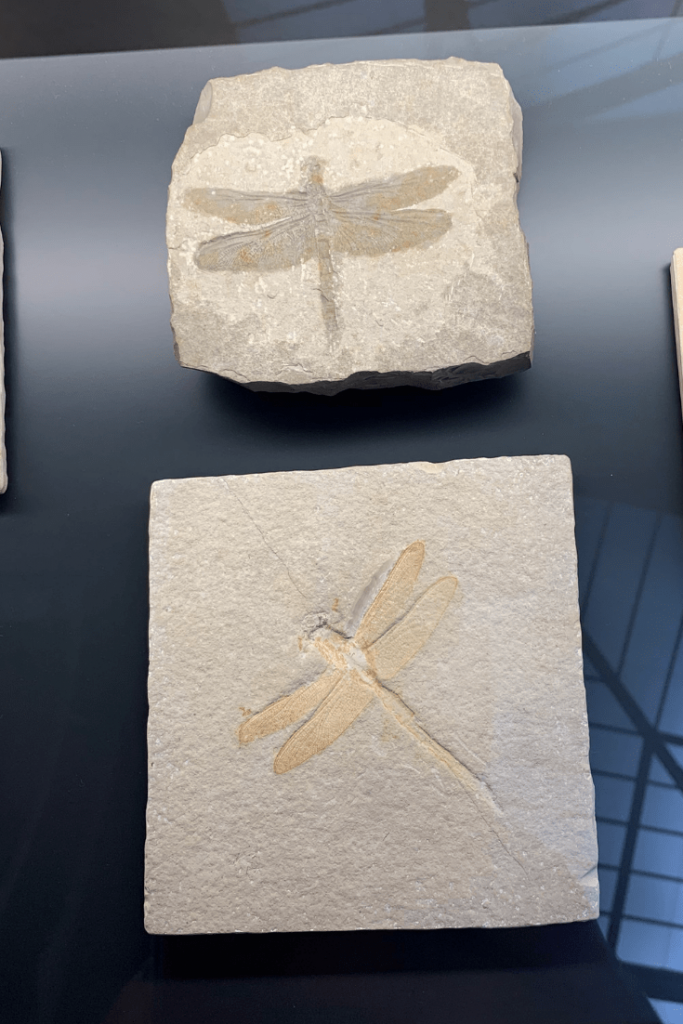 Dragonfly fossils from the Jurassic Period, Berlin