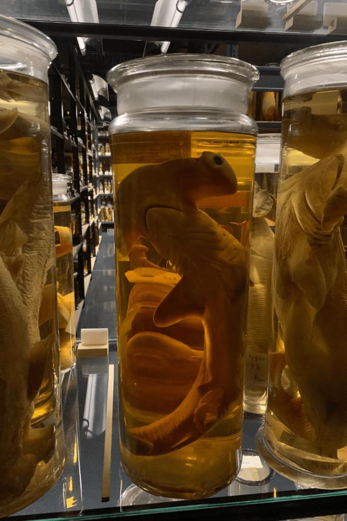 Hammerhead shark, Wet Collection, Berlin