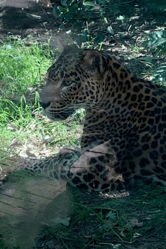 A very hot jaguar during a visit to Royal Burgers Zoo