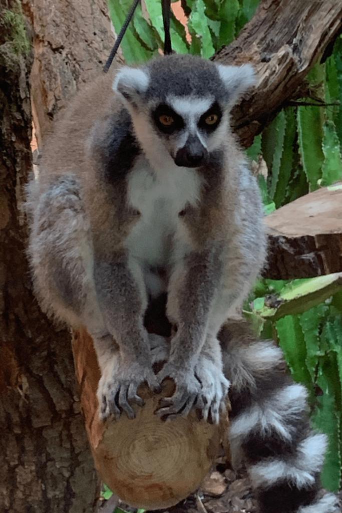 Lemurs during a visit to Royal Burgers Zoo