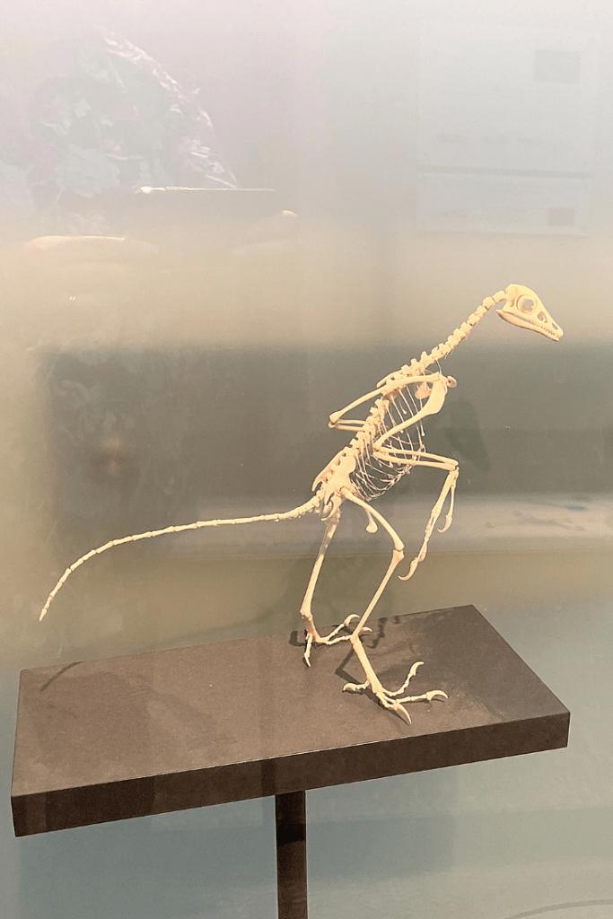 Pterodactyl fossils at the Museum für Naturkunde