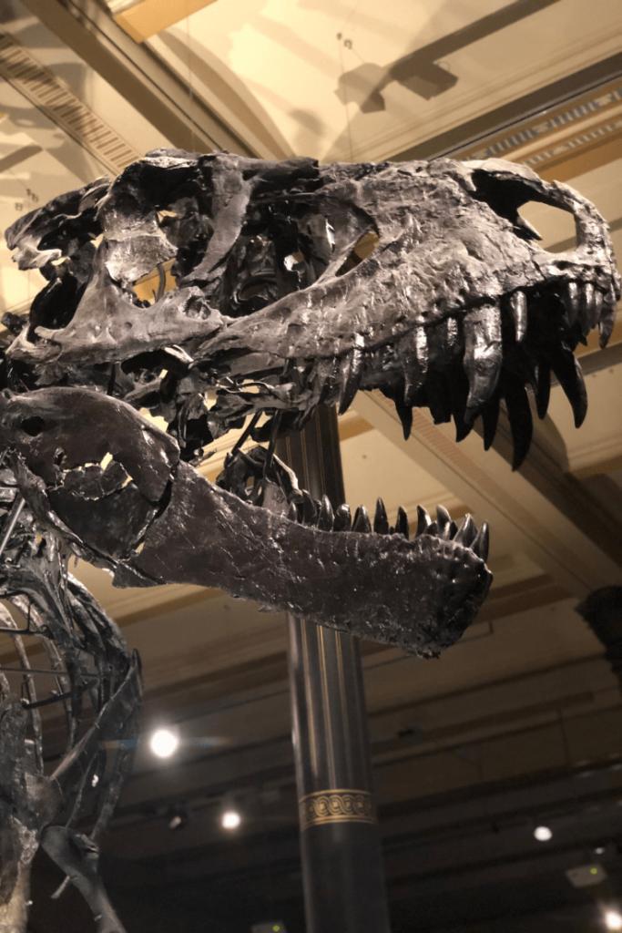 Tyrannosaurus Rex skull, Berlin