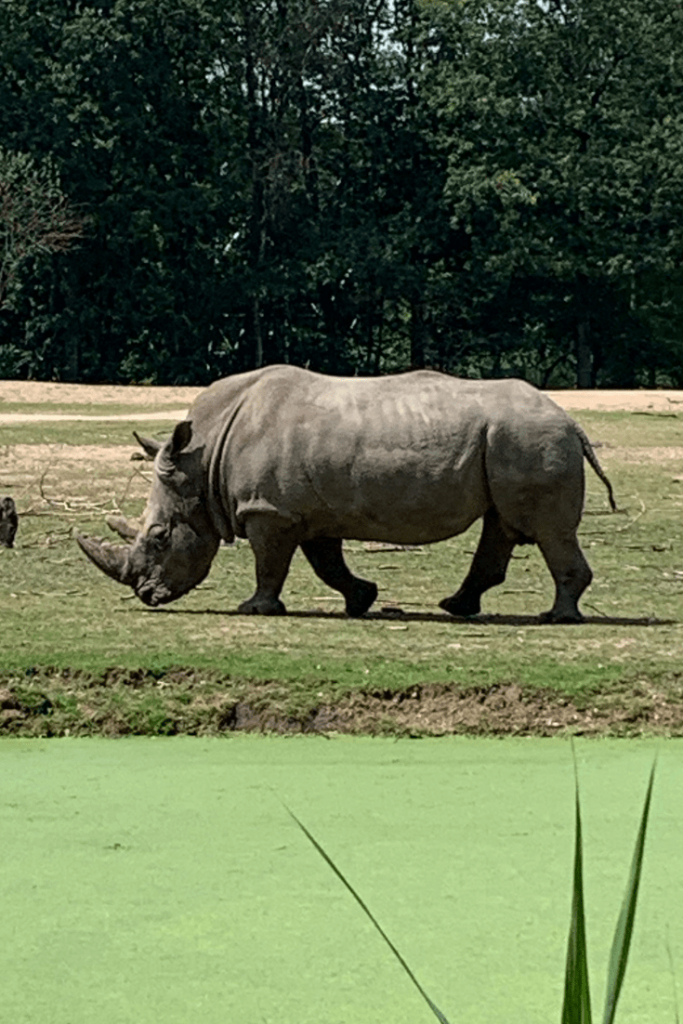 White Rhino during a visit to Royal Burgers Zoo