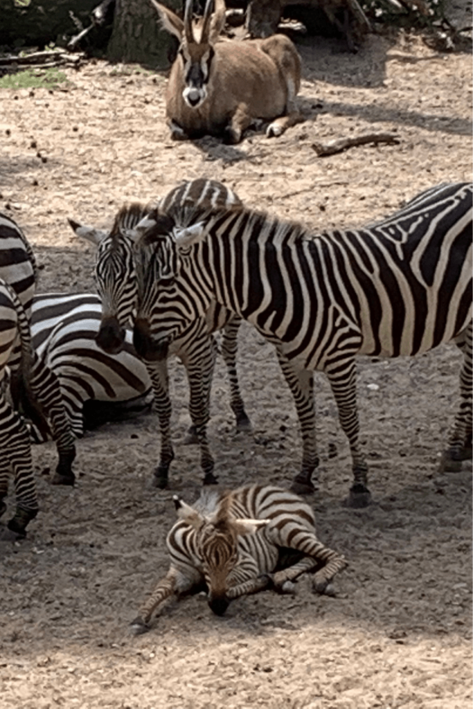 Young zebra during our visit to Royal Burgers Zoo