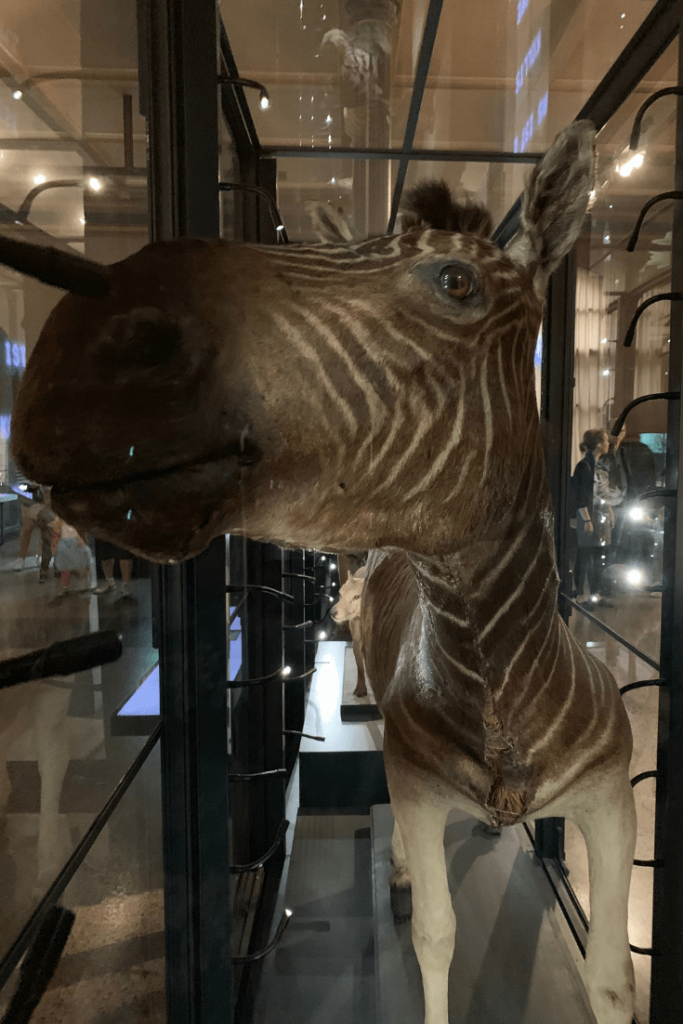 Now extinct quagga, Berlin