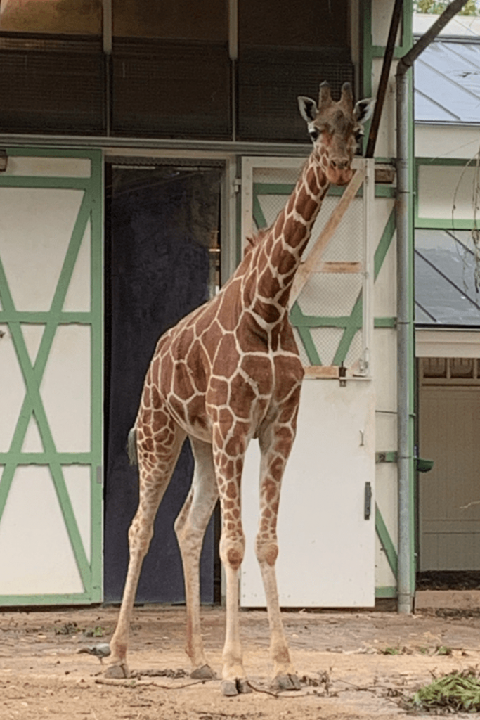 A giraffe at the Artis zoo during the best trip ever