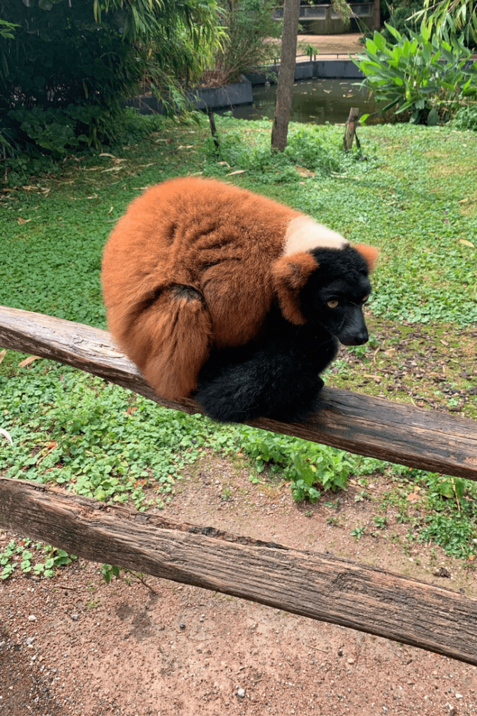 Red ruffed lemur at Artis zoo in Amsterdam during the best trip ever