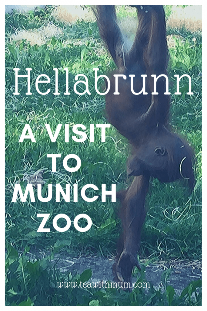 Hellabrunn: A visit to Munich zoo; things to do in Munich with small kids; juvenile orangutan hanging upside down