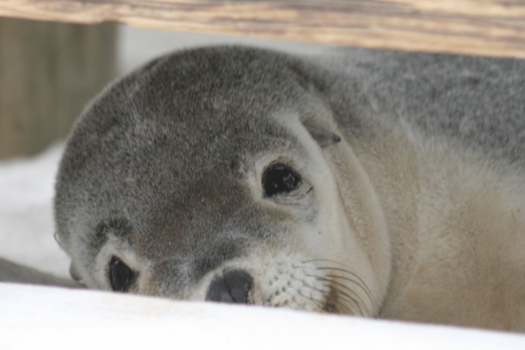 Up close and personal with a young Australian sea lion at Seal Bay, Kangaroo Island; we hope for a repeat experience; give the gift of an experience this holiday season