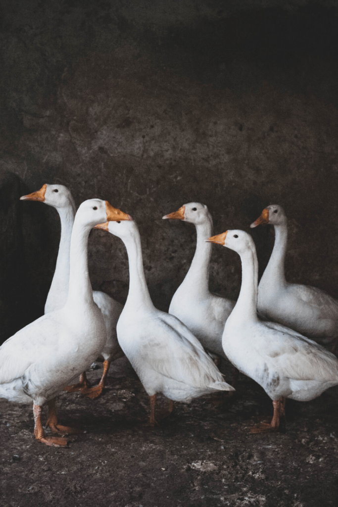 Roasted goose is often eaten to celebrate St Martin's Day in remembrance of the geese that revealed Martin's hiding position or interrupted his sermon; Photo by Ibrahim Munir on Unsplash