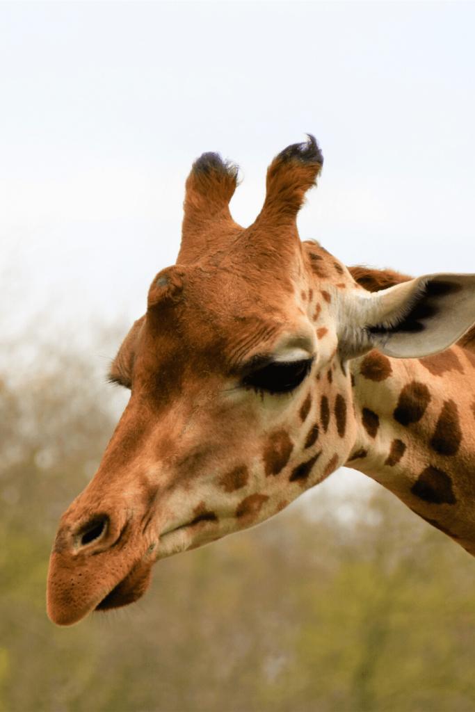 Giraffe during an afternoon at the Berlin Zoo; Photo: Waldemar Brandt on unsplash