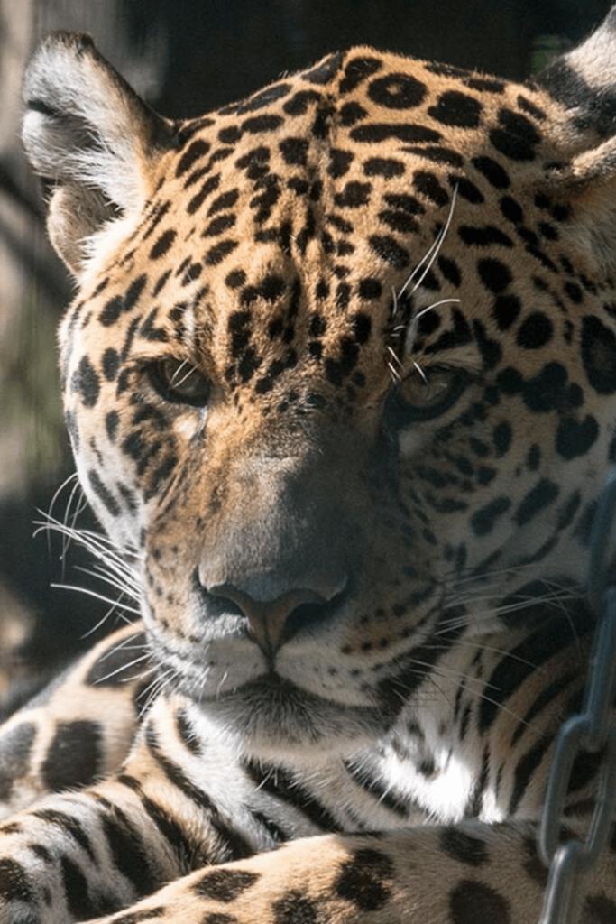 Jaguar at the Berlin Tierpark. Photo: Tierpark Berlin, https://www.tierpark-berlin.de/fileadmin/user_upload/leopard_banderole.jpg