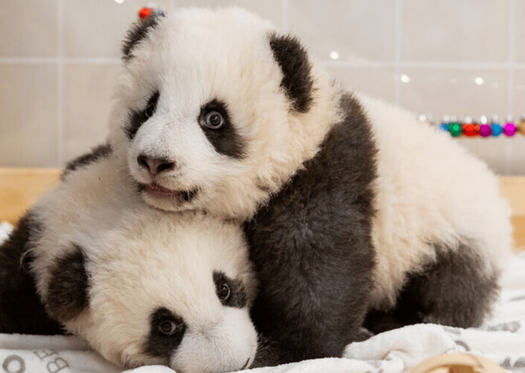 Twin pandas Meng Xiang and Meng Yuan in a pre-Christmas shot. Photo: Zoo Berlin - https://www.zoo-berlin.de/fileadmin/_processed_/a/7/csm_Pandas_Meng_Xiang_MengYuan_Zoo_Berlin_2019__1__f54c7291e9.jpg