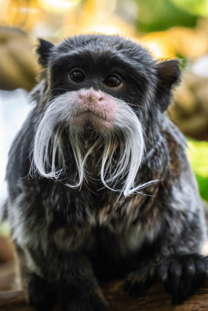 Black and white moustached monkey during an afternoon at the Berlin Zoo; Photo Chris Curry on unsplash