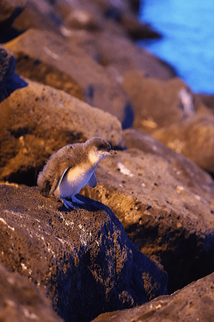 Number 13 of 13 fun things to do and see in Melbourne with kids: Go fairy penguin spotting at St Kilda - Just a short tram ride from Melbourne is St Kilda, the home to a colony of fairy penguins. Go there at dusk and see if you can spot some returning to the shore.