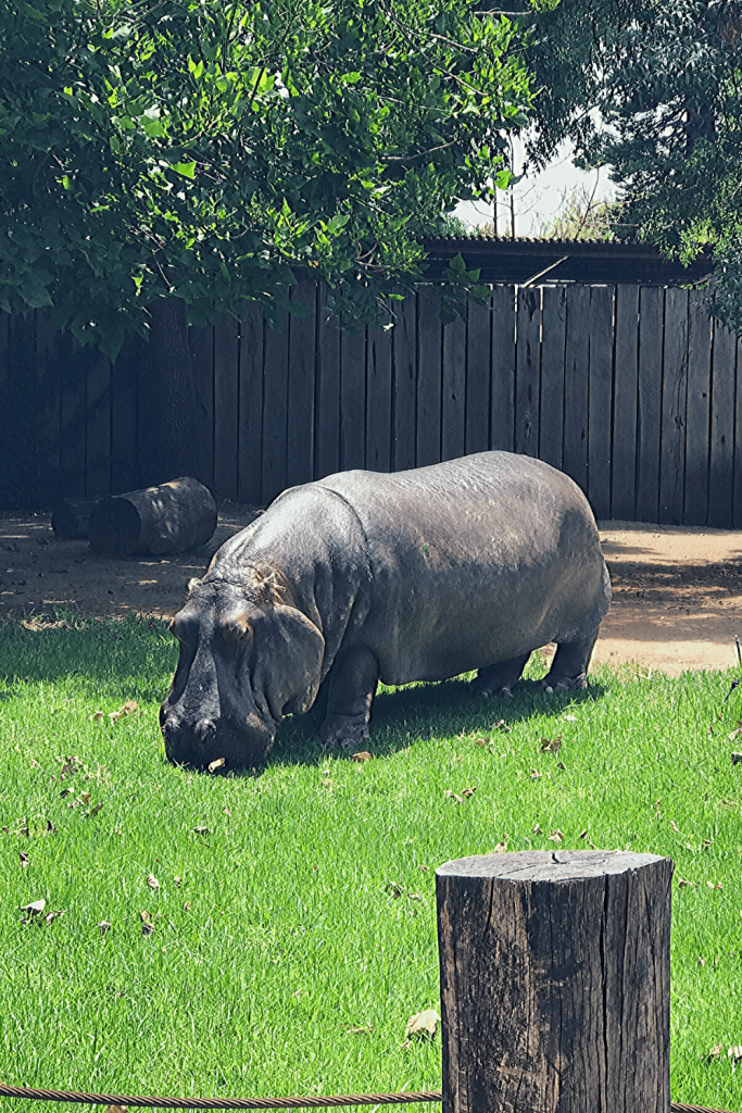 Adelaide with kids: the pygmy hippopotamus at the Adelaide Zoo