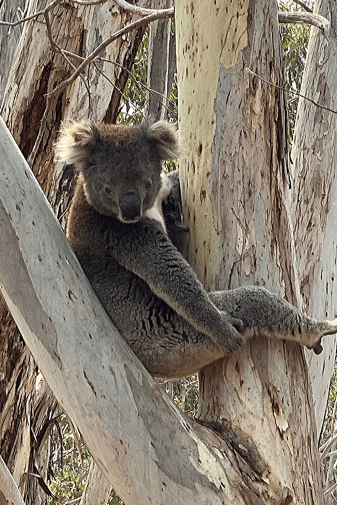 Watch out for the local wildlife when visiting the Great Ocean Road with kids: here a koala in a tree