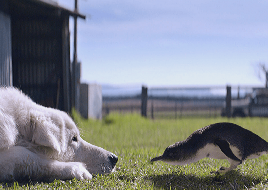 "Oddball and a little penguin from the film ""Oddball"". Meet the Maremma dogs and search for little penguins when visiting the Great Ocean Road with kids"