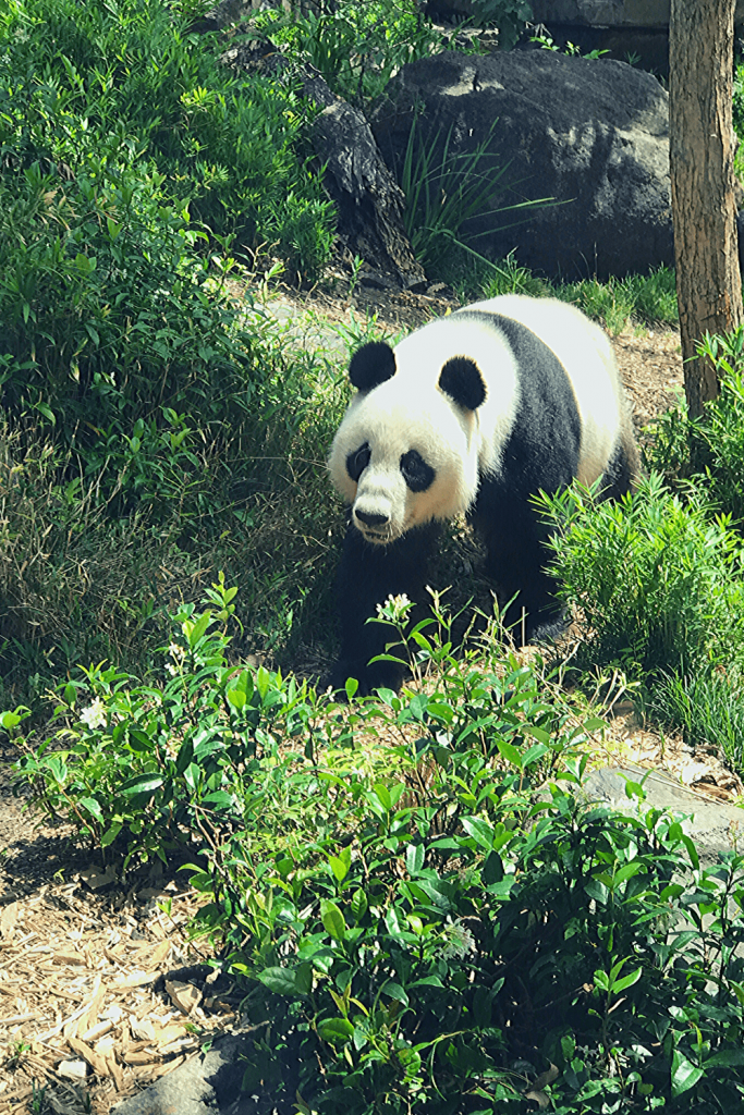 Adelaide with kids: One of the pandas at the Adelaide Zoo