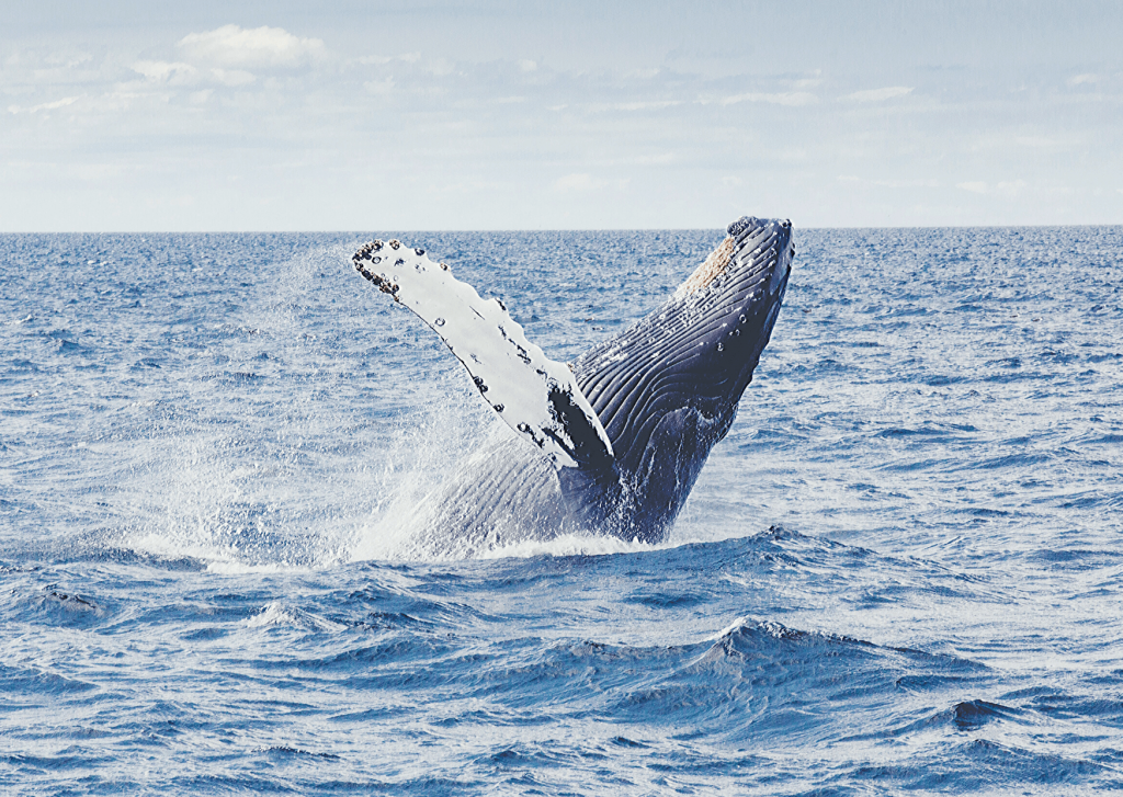 Go whale watching for blue whales and Southern Right Whales if you are visiting the Great Ocean Road with kids in Winter: Blue whale jumping out of water