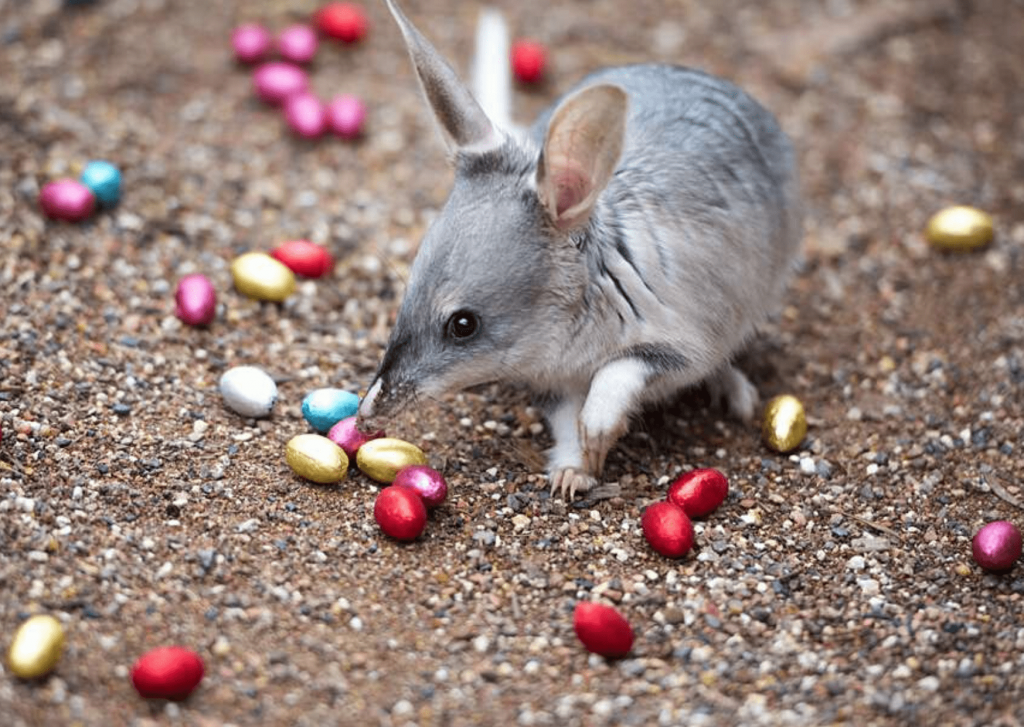 Easter Bilby, with Easter Eggs. Photo: reptilepark.com.au