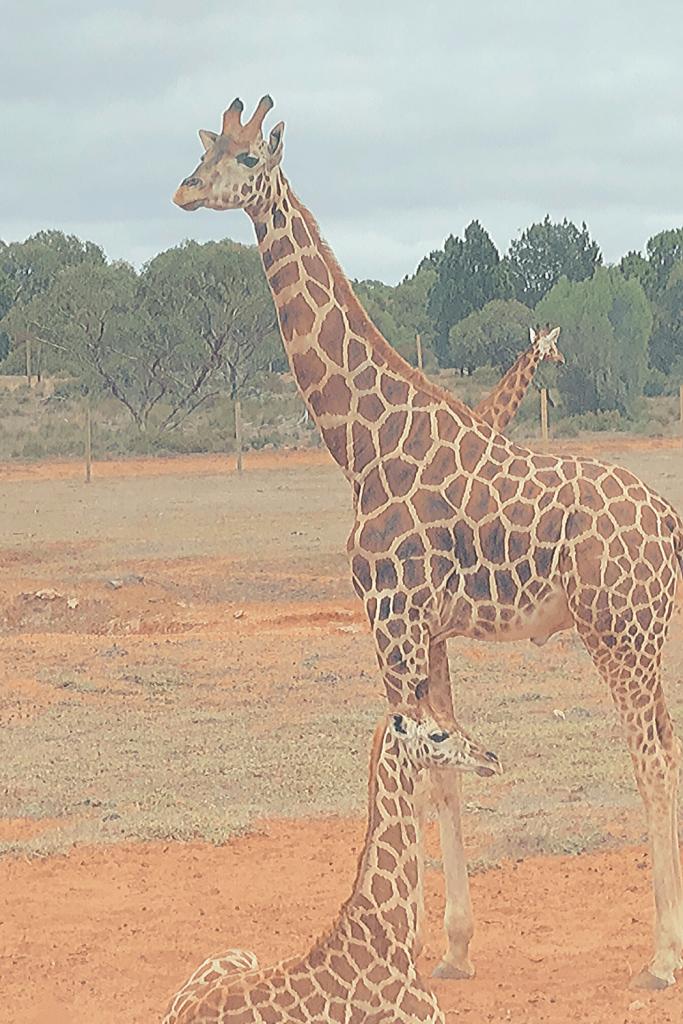 Giraffe, with baby at Monarto zoo