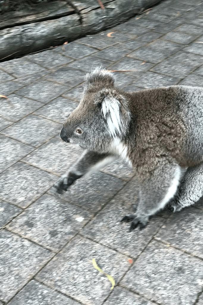 Wild koala strolling through Cleland Wildlife Park