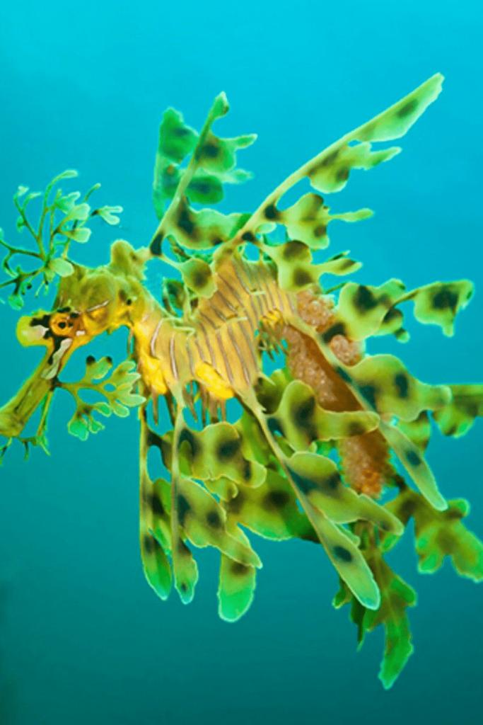 Leafy sea dragon, South Australian marine emblem. Source: unknown