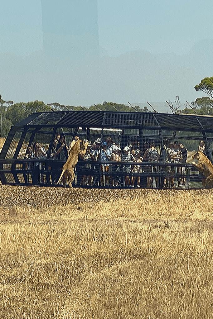 360 degree lion experience at Monarto Zoo