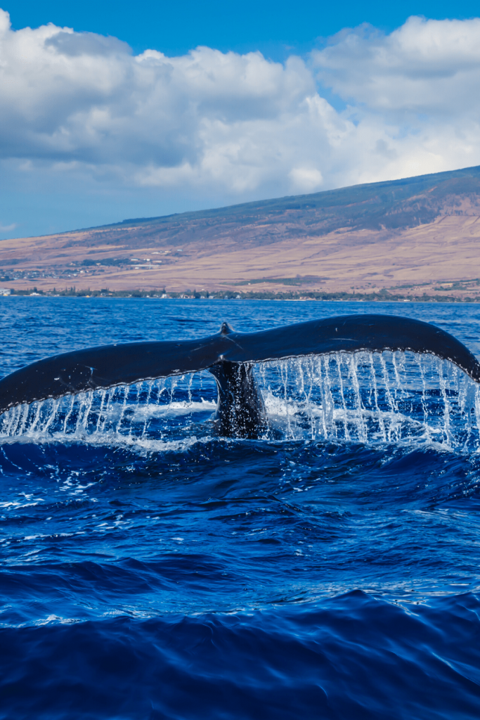 Watch for telltale whale tales and blow holes, whale watching on the Fleurieu Peninsula. Image of a whale tale, Canva