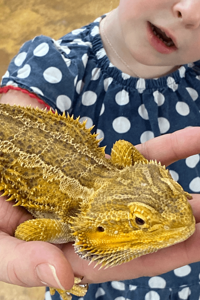 What to do in the Adelaide Hills: An animal experience at Cleland or Warrawong. Here a Reptile Hold with a bearded dragon
