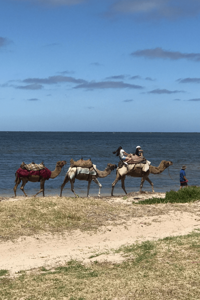 Camel rides at Victor Harbour, Fleurieu Peninsula