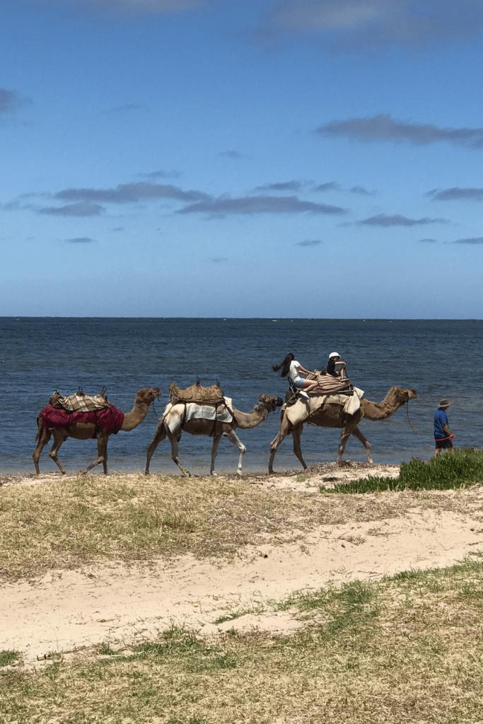 Camel rides at Victor Harbour, Fleurieu Peninsula