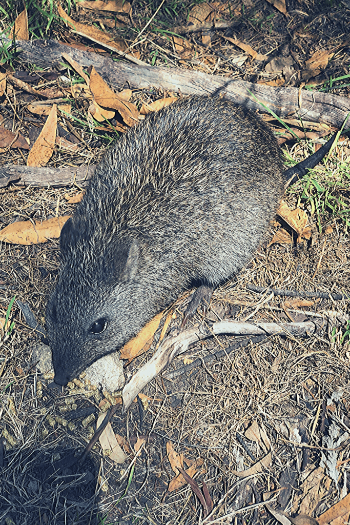 See the potoroos, up close, a great animal experience at the zoos and wildlife parks in and near Adelaide