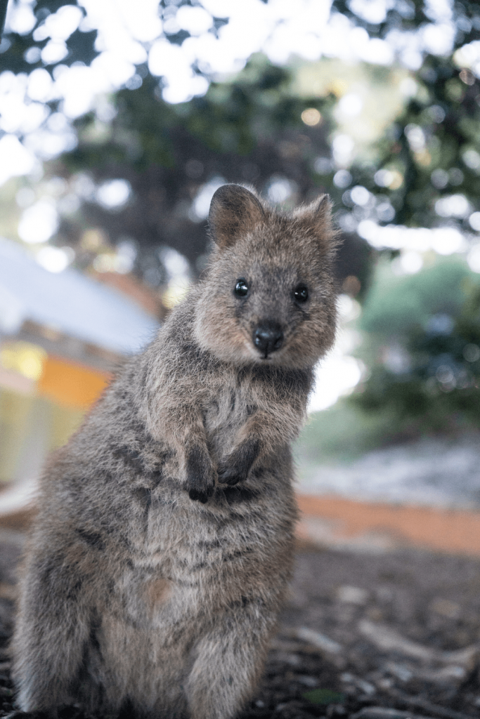 You might be lucky enough to pat a quokka at the Adelaide Zoo; Top zoos and wildlife parks in and near Adelaide; Image Natalie Su via Unsplash