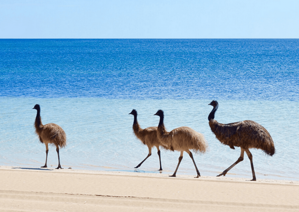 Emus on the beach, Coffin Bay National park and Almonta Beach; Image Southaustralia (dot) com