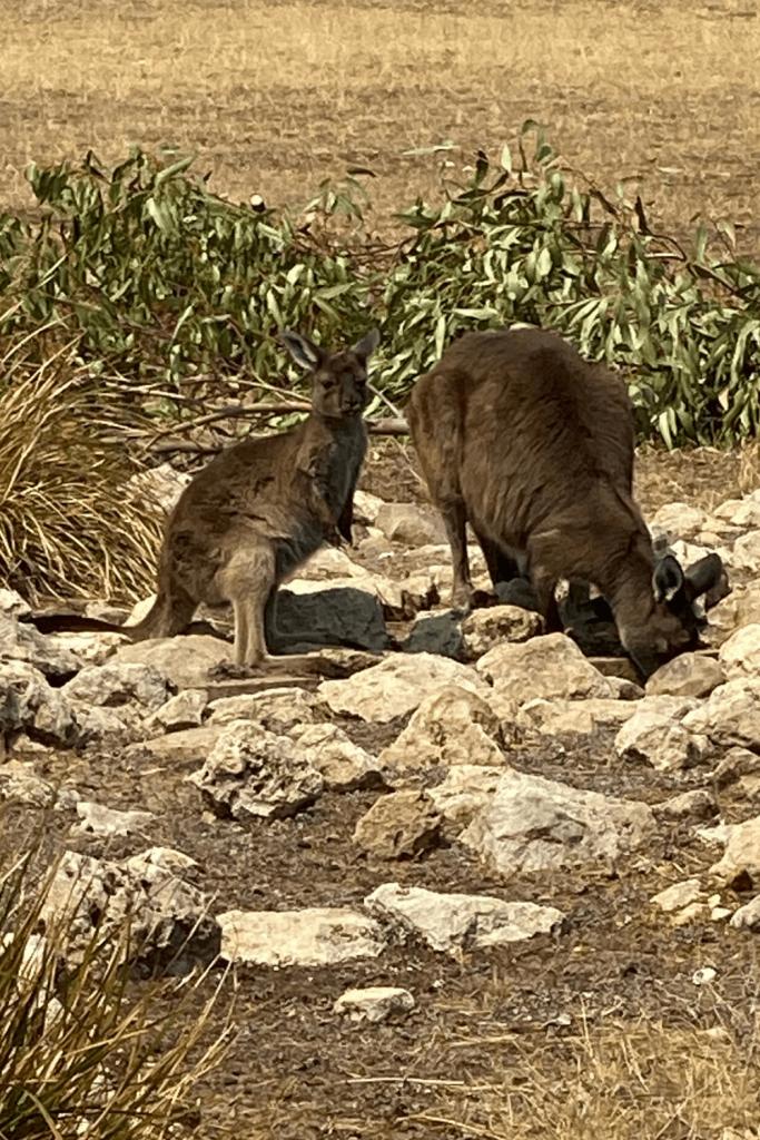 Kangaroo Island kangaroos, Hanson Bay Wildlife Sanctuary