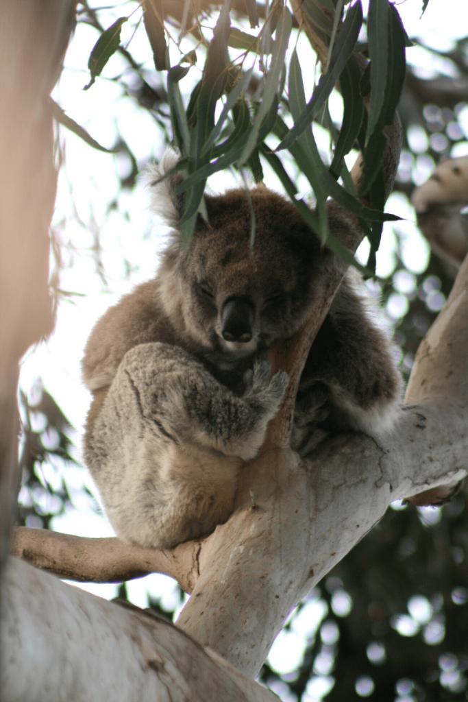 Koala asleep in a eucalyptus tree at Hanson Bay Wildlife Sanctuary
