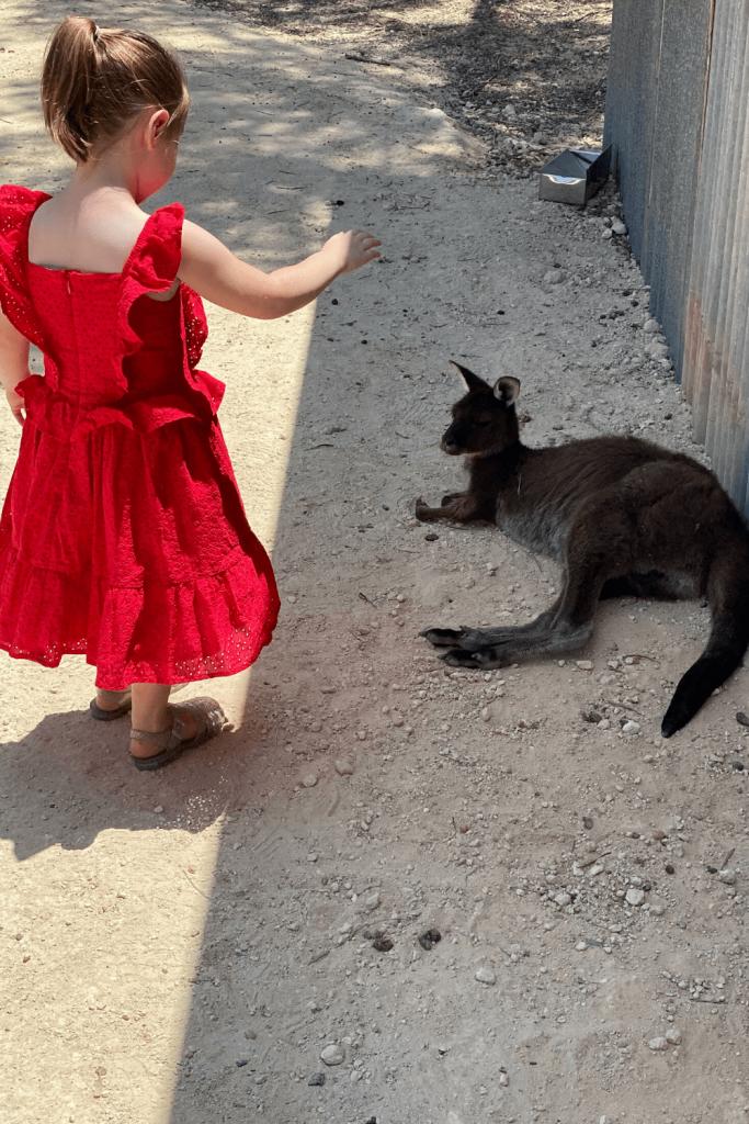 The rescue kangaroo at Emu Ridge Distillery, Kangaroo Island