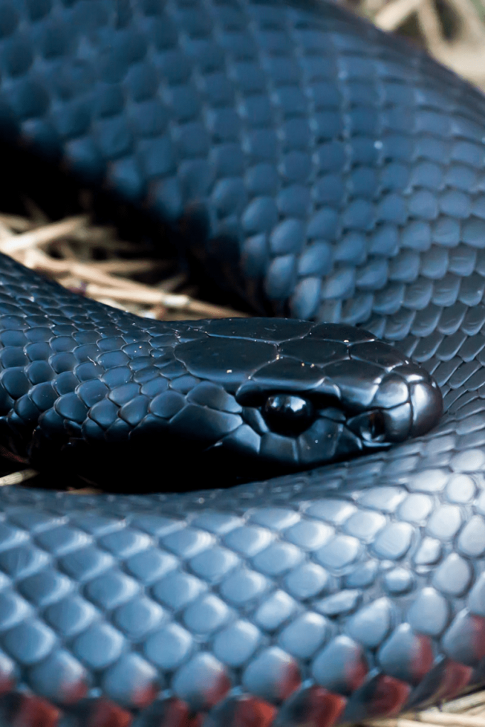 Deadly Australians: things that slither, like this red belly black snake
