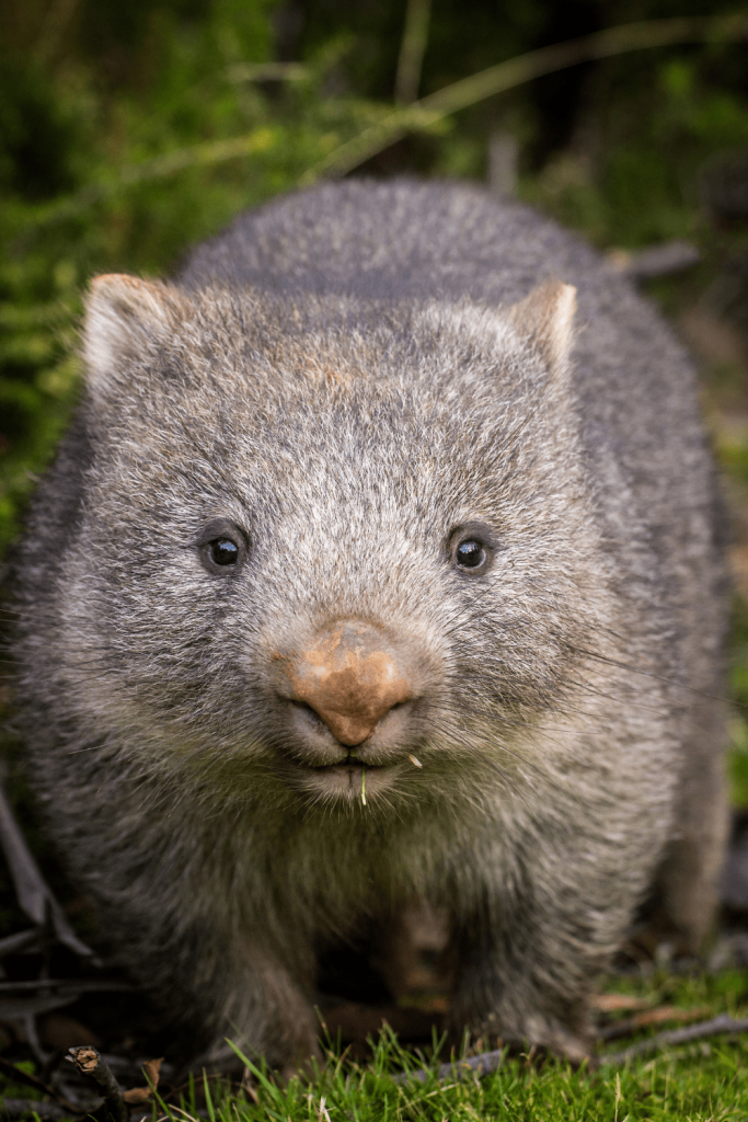 Dangerous animals: even the cute ones can be dangerous, like this wombat