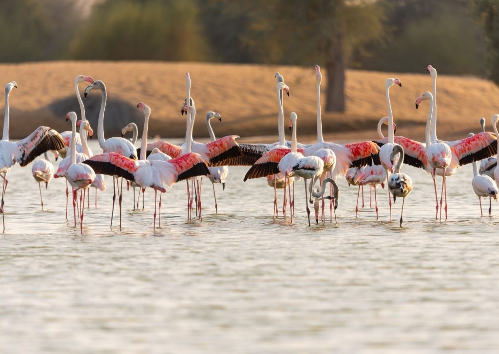 The ultimate guide of things to do in Dubai with kids: see the flamingos a the sanctuary